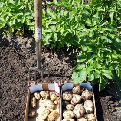 Potatoes Harvested From The Allotment