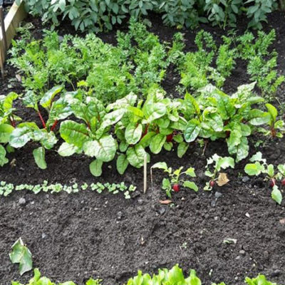 Vegetables At The Allotment
