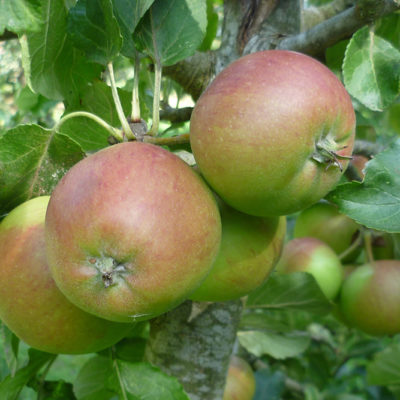Apples In Community Orchard - Click to open full size image