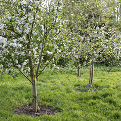 Community Orchard Blossom