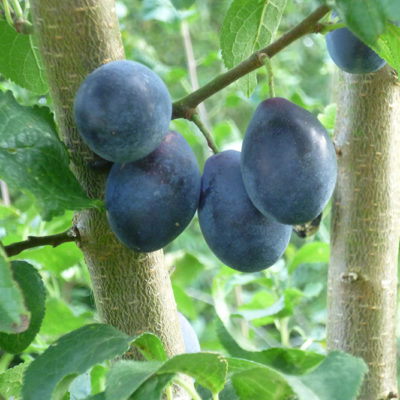 Damsons In Community Orchard - Click to open full size image