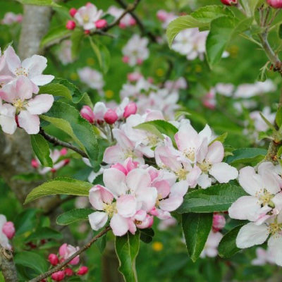 Orchard Blossom - Click to open full size image