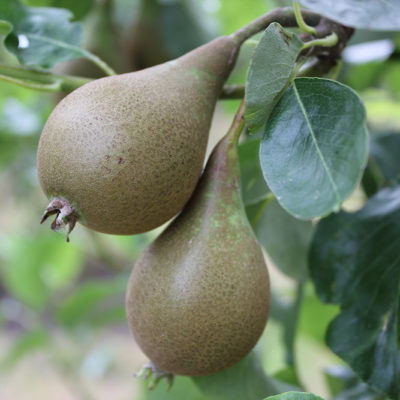 Pears In Community Orchard - Click to open full size image