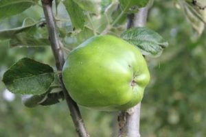 Arthur W Barnes Cooking Apple