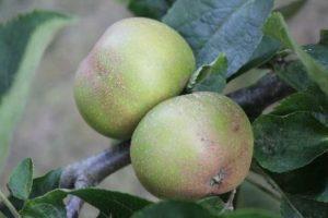 Ashmeads Kernel Eating Apple