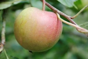 Briarfields Pippin Apple