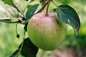 Ellisons Orange Apple