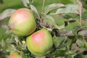 Golden Spire Apple