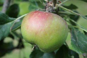 Sunset Apple
